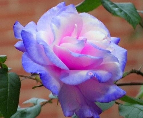 Semillas De Rosa Arco Iris Multicolor Rosa Exotica 189 00 En