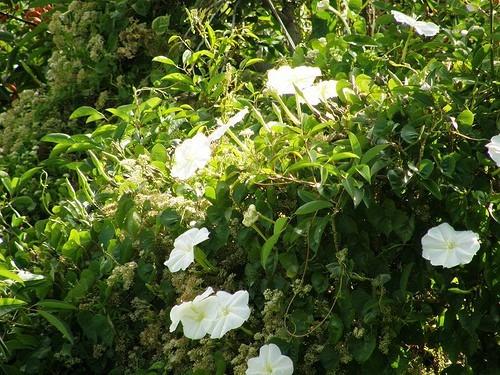 semillas enredadera de crecimiento rapido flores arom. x15 u