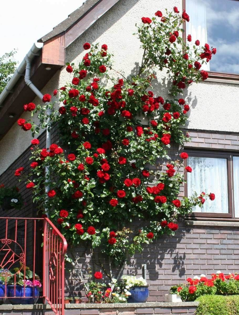 Semillas ex trepador enredadera rojo flor fpd - Rosales en macetas ...