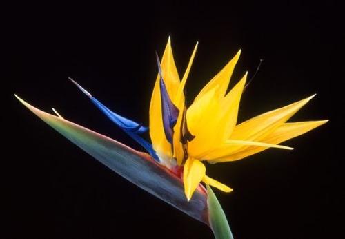 semillas flor del pájaro