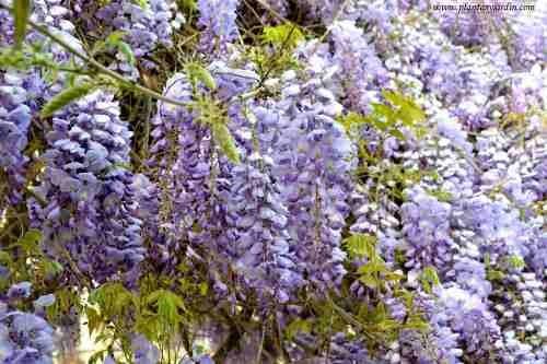 semillas glicina wisteria purpura importada pack x 5