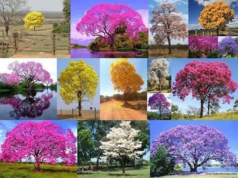 semillas guayacán: amarillo, rosa, morado, blanco, gualanday