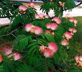 Semillas mimosa arbol de seda albizia plantas jardin for Arboles y plantas para jardin