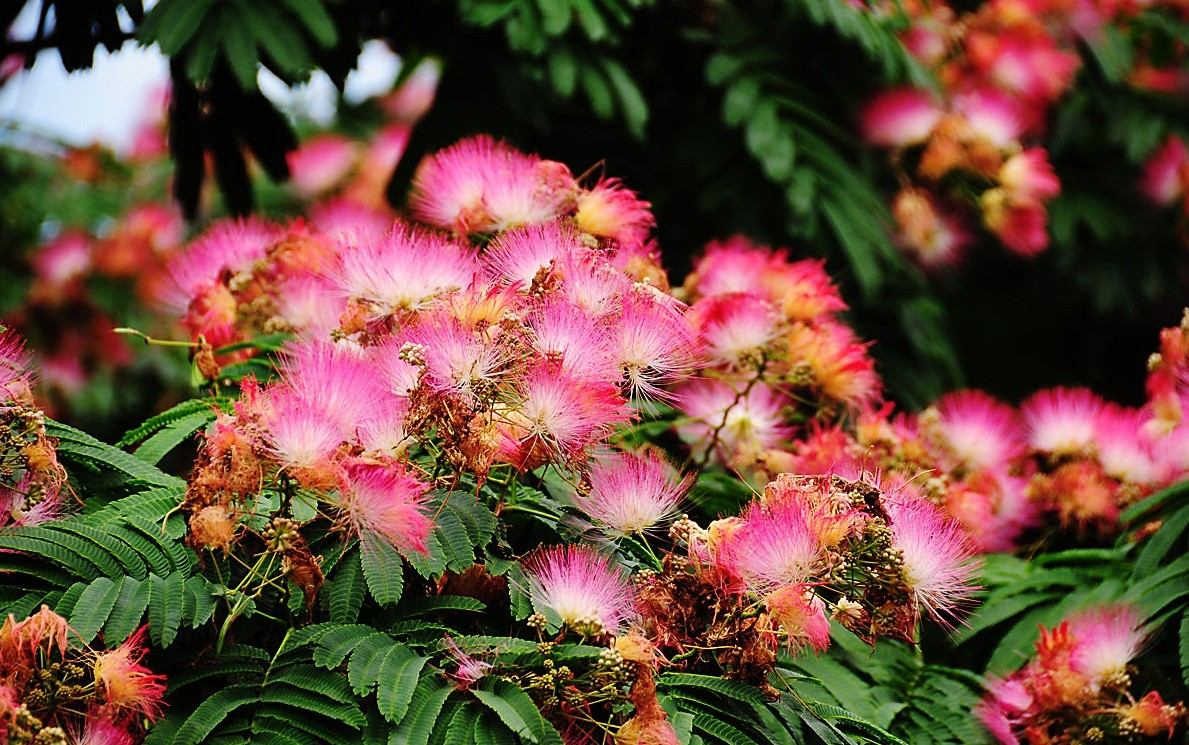Semillas mimosa arbol de seda albizia plantas jardin for Arboles para cierre de jardin