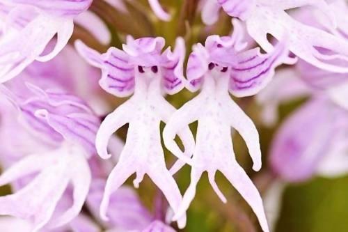 semillas orquidea hombre italiano italian man colores varios