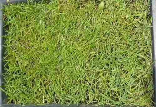 Semillas para pasto lolium perene rye grass 90 codigo - Semillas de cesped para jardin ...