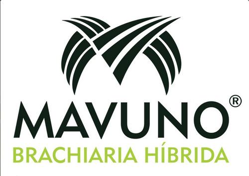 semillas pasto brachiaria hibrido mavuno mejor que mulato ii