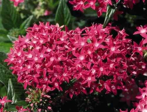 semillas penta pentas lanceolata colores surtidos pack x 20
