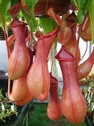 Semillas Planta Carnivora Nephentes Flores Exoticas 4 990 En