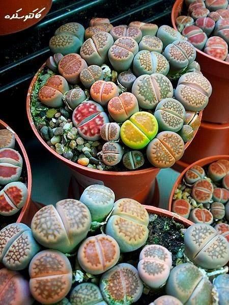 Semillas planta piedra lithops 50 semillas en for Semillas de cactus chile