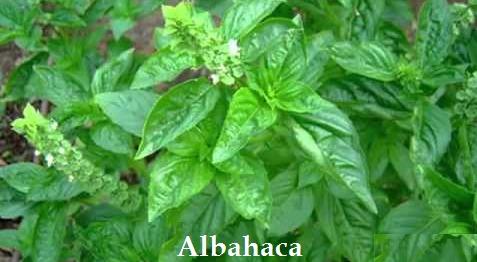 Semillas plantas aromaticas albahaca jardin flores 200uds - Plantas aromaticas jardin ...