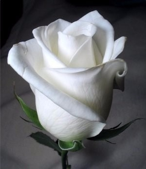Resultado de imagen de rosa blanca