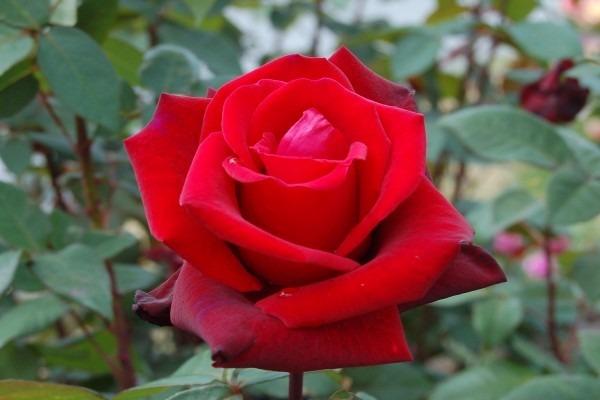Semillas Rosa Roja Flor Rosas Rojas Divinas 9000 En Mercado Libre