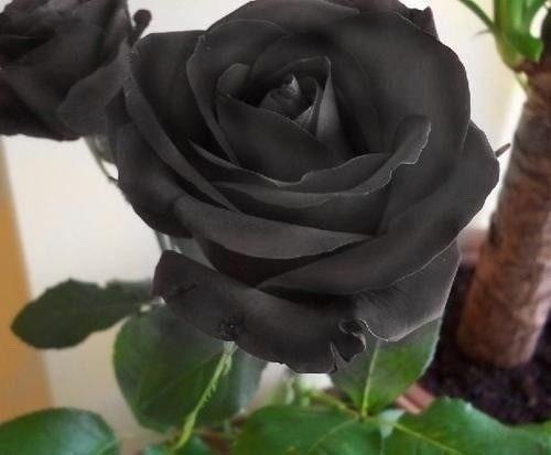 Semillas Rosas Azules Negras Verdes Moradas Guia Cultivo 5000