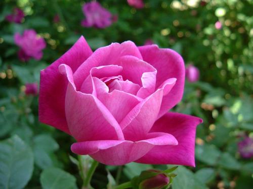 semillas rosas  colores organica+despacho a domicilio gratis