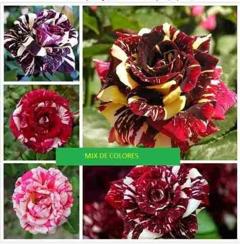 semillas rosas mix variedades stripe + guia cultivo