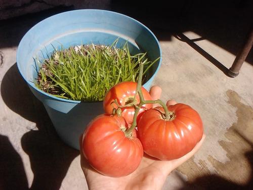 semillas stevia + arbol jitomate italiano + fresa aromatica