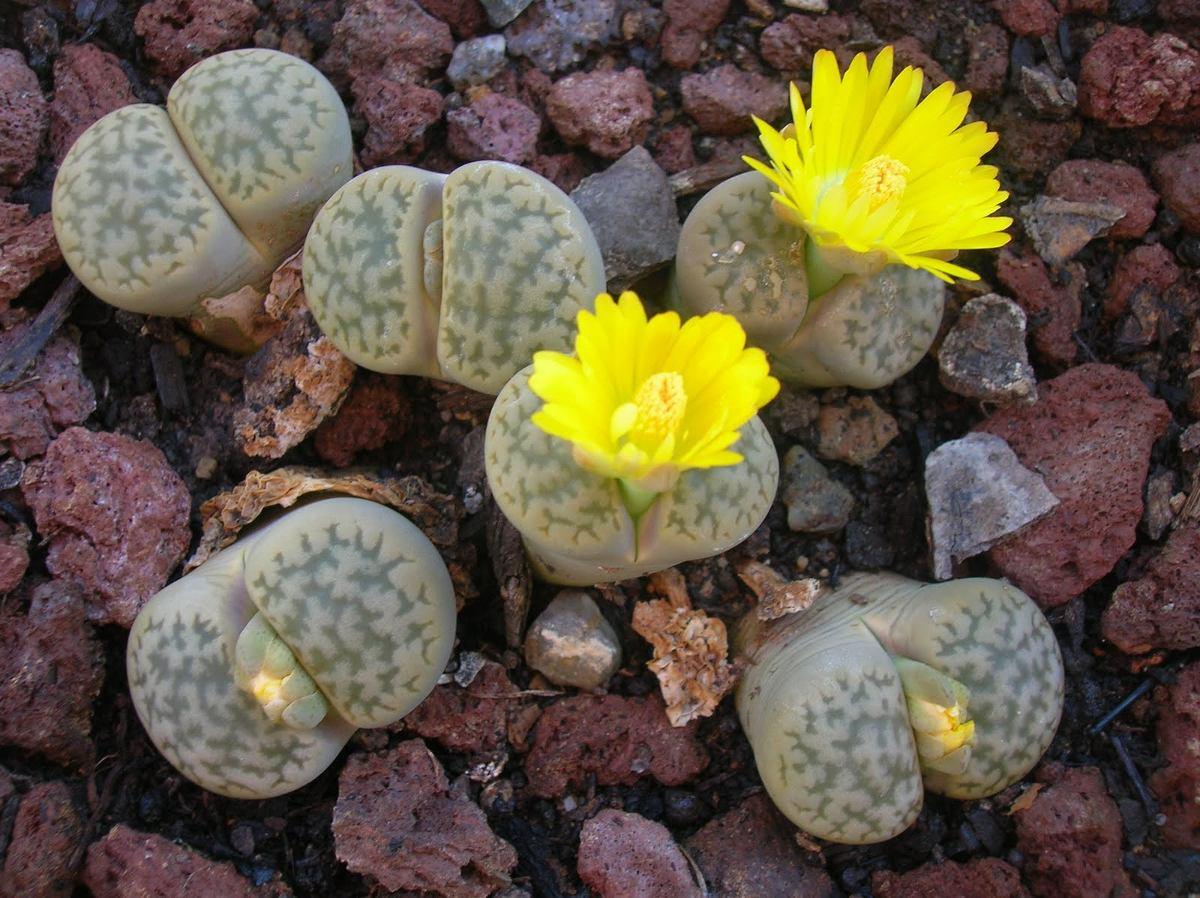 Semillas suculenta piedras vivas lithops en for Suculentas chile
