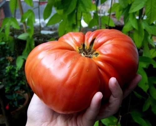 semillas tomate beefsteak gigante pack x 20