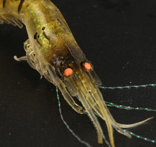 señuelo camaron super realista garantia de pesca unico en ml