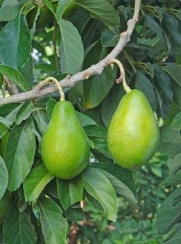serragem de abacateiro defumar 8kg