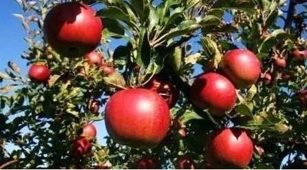 serragem macieira para defumar alimentos 2kg