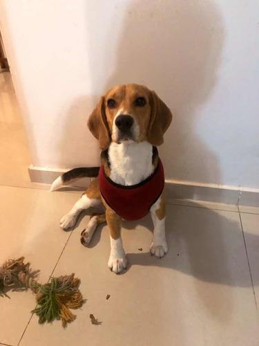 servicio beagle macho