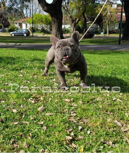 servicio bulldog frances blue