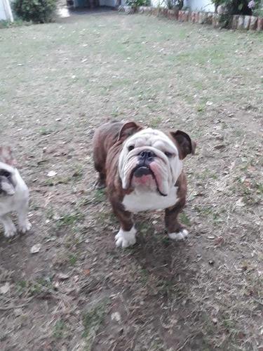 servicio bulldog ingles
