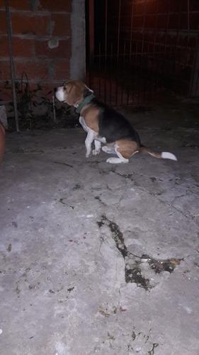 servicio de beagle por cachorro