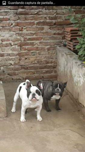 servicio de bulldog francés con fca