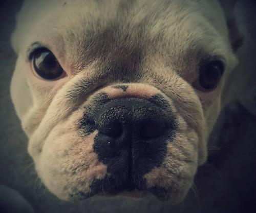 servicio de bulldog francés - pilar y zona norte