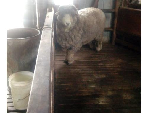servicio de diagnostico de brucella ovis