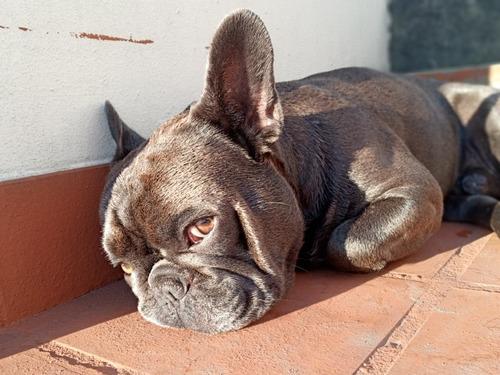 servicio de estud - monta bulldog francés
