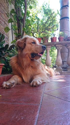 servicio de golden retriever con pedigree
