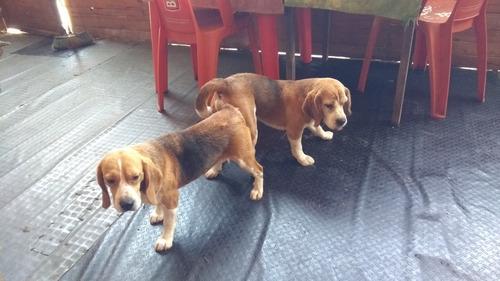 servicio de monta beagle