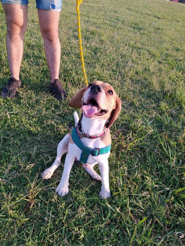 servicio de monta beagle tricolor p/fca