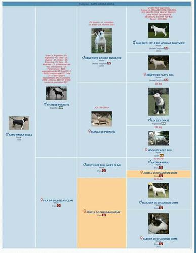 servicio de monta bull terrier