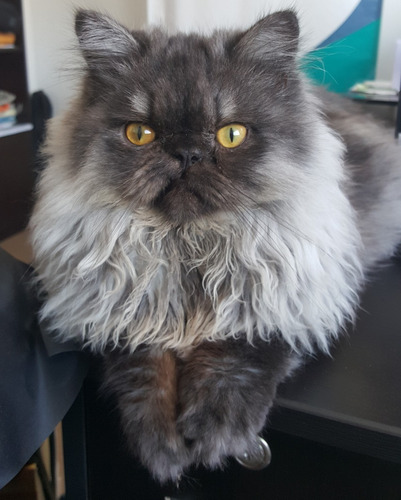 servicio de monta de gato persa