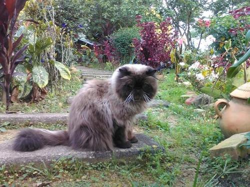 servicio de monta gato persa himalayo