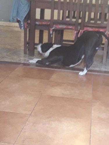 servicio de monta - gratis - pitbull