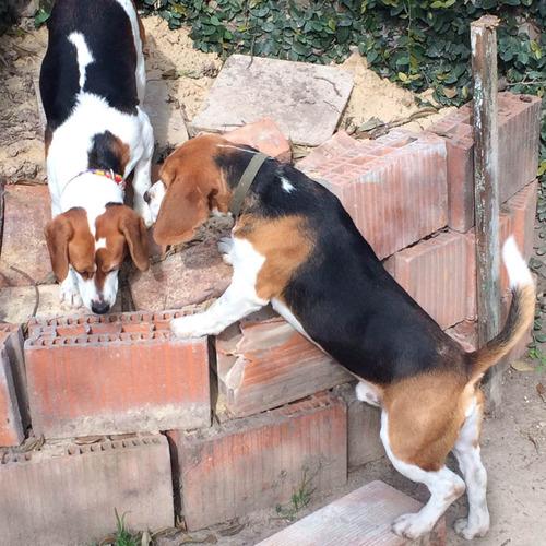 servicio de monta stud beagle con fca