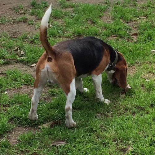 servicio de monta stud beagle con fca c/ microcrip