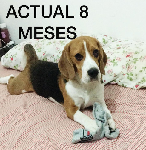 servicio de monta / stud / cruza beagle tricolor macho !