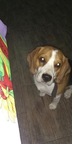 servicio de perro beagle