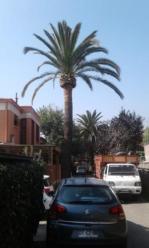 servicio de poda de arboles y palmeras presupuesto sin costo