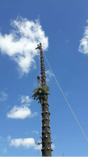servicio de podas y tala de arboles, poda de palmeras.