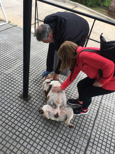 servicio de stud bull dog inglés busca novia bull dog