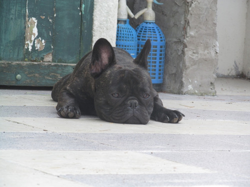 servicio de stud bulldog francés