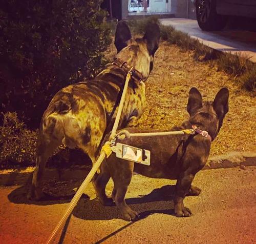 servicio de stud bulldog francés merle